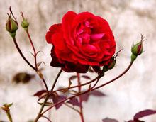 РОЗАТА – царицата на цветята