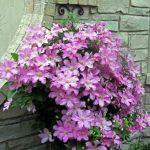 Клематисът може да украсява градината над 20 години при правилни грижи
