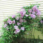 Нежно розов клематис
