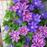 Пъстрите цветове на клематиса са невероятно красиви във всички оцветявания