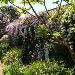 Градина  клематис не може да остане незабелязана