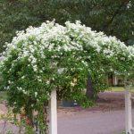 Клематис, наричан още повет, с бели цветове