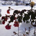 Цветя под снега...