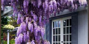 Глицинията – предизвикателство за всеки градинар